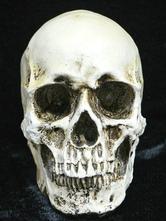 Anime Costumes AF-S2-615723 Halloween Skull Simulation Human Skull